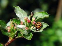 Lieveheersbeestje op blad van een appel Royalty-vrije Stock Foto