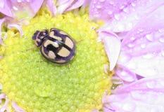 Lieveheersbeestje op bloem Stock Afbeelding