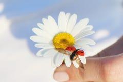 Lieveheersbeestje op een bloem Stock Foto