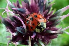Lieveheersbeestje op bloem. Macrofotografie Stock Foto's