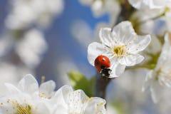 Lieveheersbeestje op bloem van tot bloei komende fruitboom Royalty-vrije Stock Foto