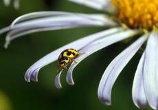 Lieveheersbeestje op bloemen royalty-vrije stock afbeeldingen