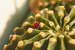 Lieveheersbeestje op cactus Royalty-vrije Stock Afbeeldingen