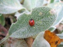 Lieveheersbeestje op de bladeren Stock Afbeelding