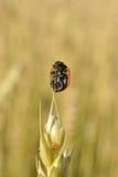 Lieveheersbeestje op de bovenkant Royalty-vrije Stock Fotografie
