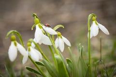 Lieveheersbeestje op de groep sneeuwklokjes royalty-vrije stock foto's