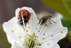 Lieveheersbeestje op de lentebloemen stock afbeelding