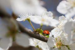 Lieveheersbeestje op de takken van een tot bloei komende fruitboom Royalty-vrije Stock Afbeelding