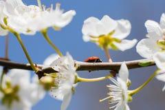 Lieveheersbeestje op de takken van een tot bloei komende fruitboom Royalty-vrije Stock Fotografie