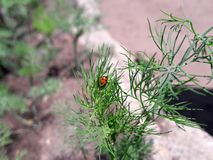 Lieveheersbeestje op dille in de tuin stock afbeelding