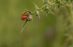 Lieveheersbeestje op doorn het uitspreiden vleugels om te vliegen Royalty-vrije Stock Afbeeldingen