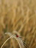 Lieveheersbeestje op een aar Royalty-vrije Stock Foto