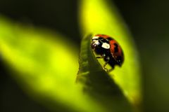 Lieveheersbeestje op een Blad Royalty-vrije Stock Afbeeldingen