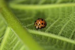 Lieveheersbeestje op een blad. Stock Afbeelding