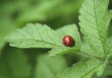 Lieveheersbeestje op een blad Royalty-vrije Stock Foto