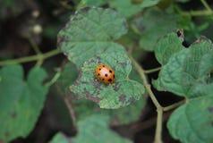 Lieveheersbeestje op een blad Stock Fotografie