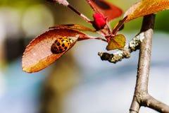 Lieveheersbeestje op een blad Royalty-vrije Stock Foto's