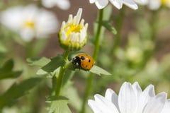 Lieveheersbeestje op een blad van de madeliefjeknop Royalty-vrije Stock Afbeelding