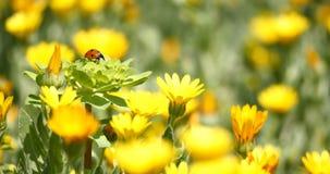 Lieveheersbeestje op een bloem stock videobeelden