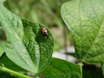 Lieveheersbeestje op een booninstallatie leaaf Stock Fotografie