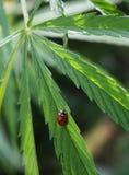 Lieveheersbeestje op een cannabisblad Stock Afbeelding