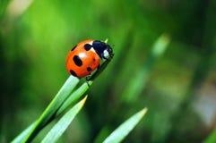 Lieveheersbeestje op een grassprietje Royalty-vrije Stock Foto's
