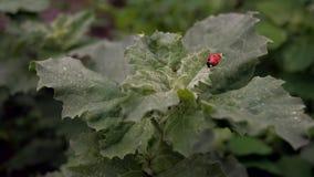 Lieveheersbeestje op een groen blad stock videobeelden