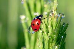 Lieveheersbeestje op een groen gras Royalty-vrije Stock Fotografie