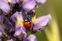 Lieveheersbeestje op een lupinebloem die aphids eten Stock Fotografie