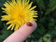 Lieveheersbeestje op een menselijke hand stock foto