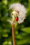 Lieveheersbeestje op een paardebloem Stock Foto