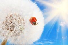 Lieveheersbeestje op een paardebloem Royalty-vrije Stock Afbeeldingen