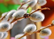 Lieveheersbeestje op een tak van een wilg Stock Fotografie