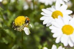Lieveheersbeestje op een vooraanzicht van de madeliefjeknop Stock Foto