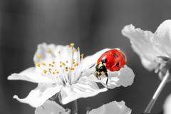 Lieveheersbeestje op een witte bloem Ondiepe DOF Stock Foto's