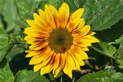 Lieveheersbeestje op een zonnebloem stock afbeeldingen