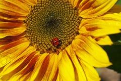 Lieveheersbeestje op een zonnebloem stock foto's
