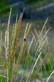Lieveheersbeestje op gouden oren stock foto