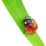 Lieveheersbeestje op gras royalty-vrije stock afbeelding