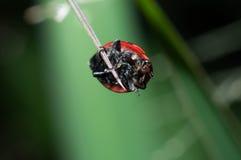 Lieveheersbeestje op gras Stock Foto