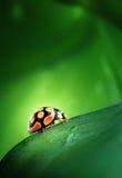 Lieveheersbeestje op groen blad Royalty-vrije Stock Foto