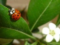 Lieveheersbeestje op groen blad Royalty-vrije Stock Foto's