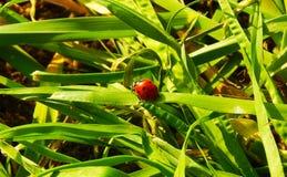 Lieveheersbeestje op groen gras stock fotografie