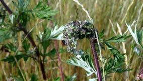 Lieveheersbeestje op groene gebiedsinstallatie stock videobeelden
