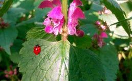Lieveheersbeestje op het blad in het bos Royalty-vrije Stock Afbeelding