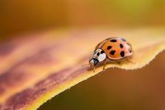 Lieveheersbeestje op het blad van de Daling Royalty-vrije Stock Afbeelding