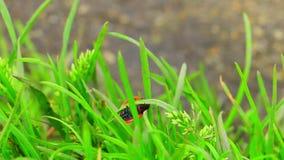 Lieveheersbeestje op het gras stock videobeelden