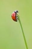 Lieveheersbeestje op het grasgebied Stock Foto