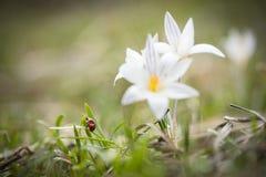 Lieveheersbeestje op het groene gras en de sleutelbloemen stock fotografie
