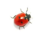 Lieveheersbeestje op het wit Stock Afbeelding